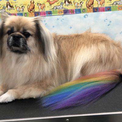 dog stylish hair coloring