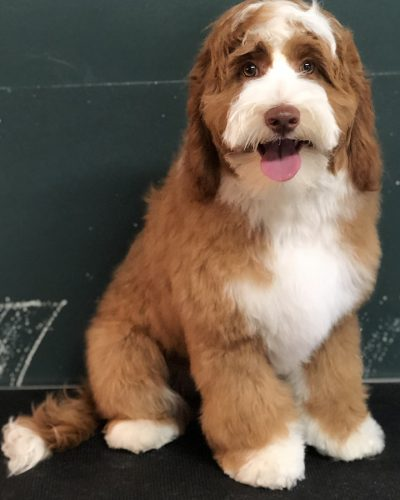 large dog grooming